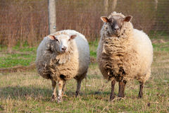 Dirty sheep in the paddock Stock Photos