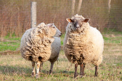 Dirty sheep in the paddock Royalty Free Stock Photos