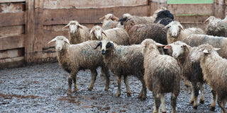 Dirty sheep after the rain at a russian farm. Royalty Free Stock Photography