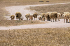 Dirty sheeps in the drought meadow Royalty Free Stock Photo