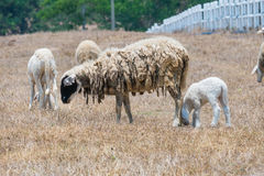 Dirty sheeps in the drought meadow Stock Photos