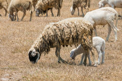 Dirty sheeps in the drought meadow Royalty Free Stock Images