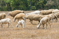 Dirty sheeps in the drought meadow Royalty Free Stock Photos
