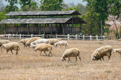 Dirty sheeps in the drought meadow stock photography