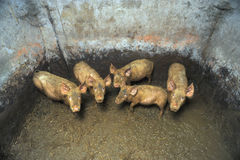 Dirty small pigs. In a dirty pigsty royalty free stock images