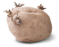 Dirty Sprouting Potatoes Rotated Stock Images