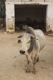Dirty stray cow Stock Images
