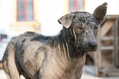 Dirty stray dog contracted leprosy standing Royalty Free Stock Images