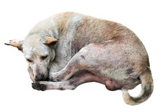 Dirty street dog sleep on white background.Closed up.Clipping pa. Th Stock Images