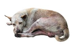 Dirty street dog sleep on white background.Closed up.Clipping pa. Th Royalty Free Stock Images