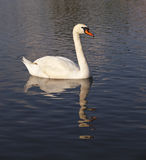 Dirty swan Stock Photography