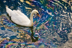 Dirty swans. In the wild Royalty Free Stock Photo