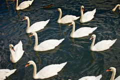 Dirty swans. In the wild Stock Photos