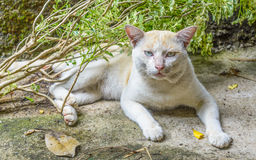 Dirty thai cat relax on floor. Stock Image