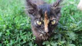 Dirty tricolor shaggy stray kitten on grass close up view stock video footage