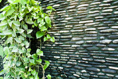 Dirty Wall with Devil's Ivy Royalty Free Stock Image