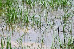 Dirty water flooding, flood sewage, moss flooding on grassy soil after rain, waste water is environment problem pollution water. The dirty water flooding, flood stock images