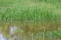 Dirty water flooding, flood sewage, moss flooding on grassy soil after rain, waste water is environment problem pollution water. Dirt sewage Stock Photography