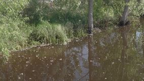 Dirty water near green shore with popler fluff falling down on it. Slo mo stock footage