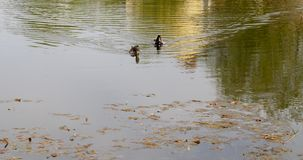 Dirty water swamps. Dirty water in the swamp with plants, photographed close-up spring. Two ducks floating on the water - a pair Stock Photography