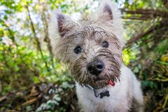 Dirty west highland terrier westie dog with muddy face outdoors. In nature - portrait of head with shallow depth of field stock photo