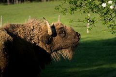 Dirty wet buffalo is eating his leaf royalty free stock photo
