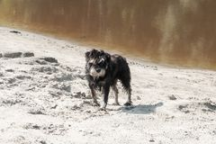 Dog on the river bank. Dirty and wet watchdog on coastal river sand Royalty Free Stock Photo