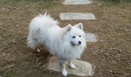 Dirty white dog Royalty Free Stock Image
