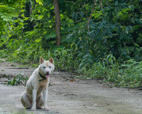 Dirty white dog sitting on paved rode. Large dirty white dog with green collar sitting on paved rode and looking at camera in wilderness area on mountainside Royalty Free Stock Photos