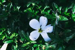 A dirty white flower on green leaves, at morning.  Stock Photos