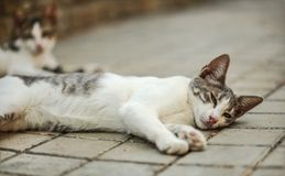 Dirty white and gray stray cat laying on her side, waking up, eyes half open. Another blurred one in background on tiled pavement.  royalty free stock photo