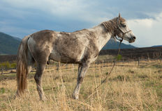 Dirty white horse Stock Photography
