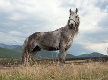 Dirty white horse Royalty Free Stock Photography