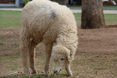 Dirty White Sheep. Is Eating Grass on the Field Royalty Free Stock Images
