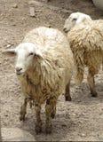 Dirty white sheep Royalty Free Stock Photo