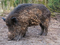 Dirty wild boar. A wild boar sow with clotty boar bristles foraging in the woods Royalty Free Stock Image
