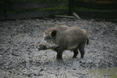Dirty wild pig. In the puddle Royalty Free Stock Photo