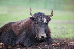 Dirty Yak Royalty Free Stock Image