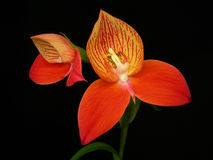 DISA uniflora Orchidee Stockbild