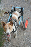 Disable dog in a wheelchair on ground Royalty Free Stock Image