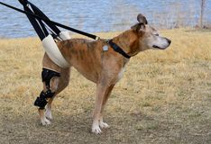 Disabled aging boxer mixed breed dog. Aging mixed breed boxer dog with orthotic brace for CCL knee injury and newly injured knee being geld up with a sling for Royalty Free Stock Image