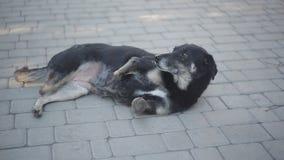Disabled black dog at animal shelter stock video