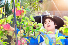 Disabled boy in wheelchair picking red apples off tree Stock Photography