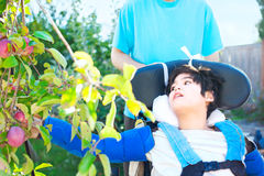 Disabled boy in wheelchair picking red apples off tree Royalty Free Stock Photo