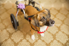 Disabled Chihuahua Portrait Stock Photo