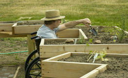 Disabled gardener. Man in a wheelchair tending a garden in an enabling bed Royalty Free Stock Photo