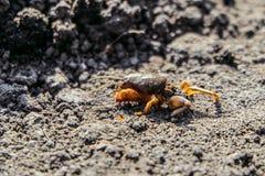 Disabled Mole Cricket Gryllotalpa gryllotalpa. On a garden soil royalty free stock photos