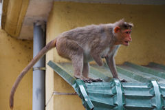 The disabled monkey in city of India Royalty Free Stock Photography