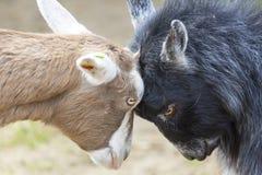 Disagreement: Goats Butting Heads. Two goats butting heads symbolising a disagreement Stock Photos