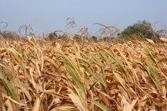 Disastro di siccità Immagini Stock Libere da Diritti